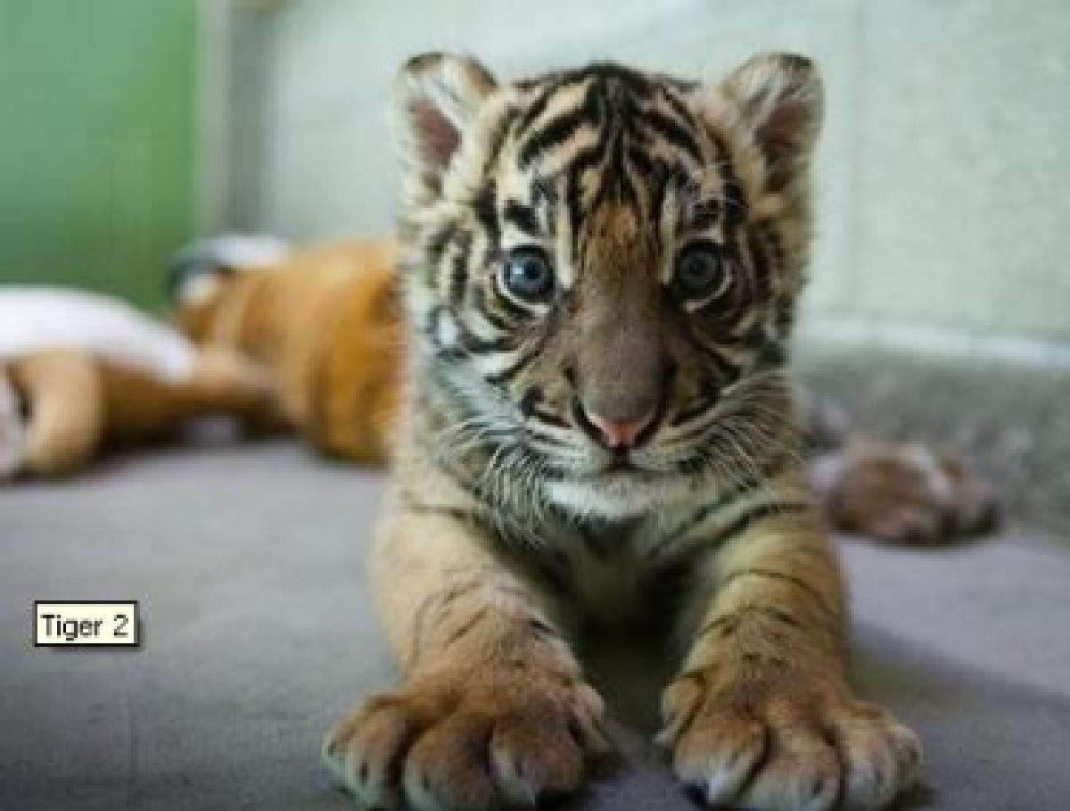 Usa Ecco Duma Il Cucciolo Di Tigre Tgcom24 Foto 1