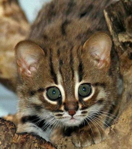 Berlino ecco i gatti pi piccoli del mondo tgcom24 foto 1 for I gattini piccoli
