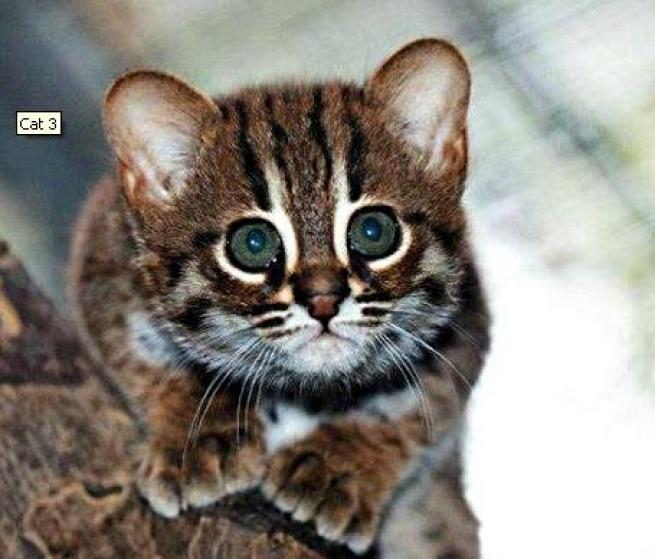 abbastanza Berlino, ecco i gatti più piccoli del mondo - Tgcom24 - Foto 2 NP75