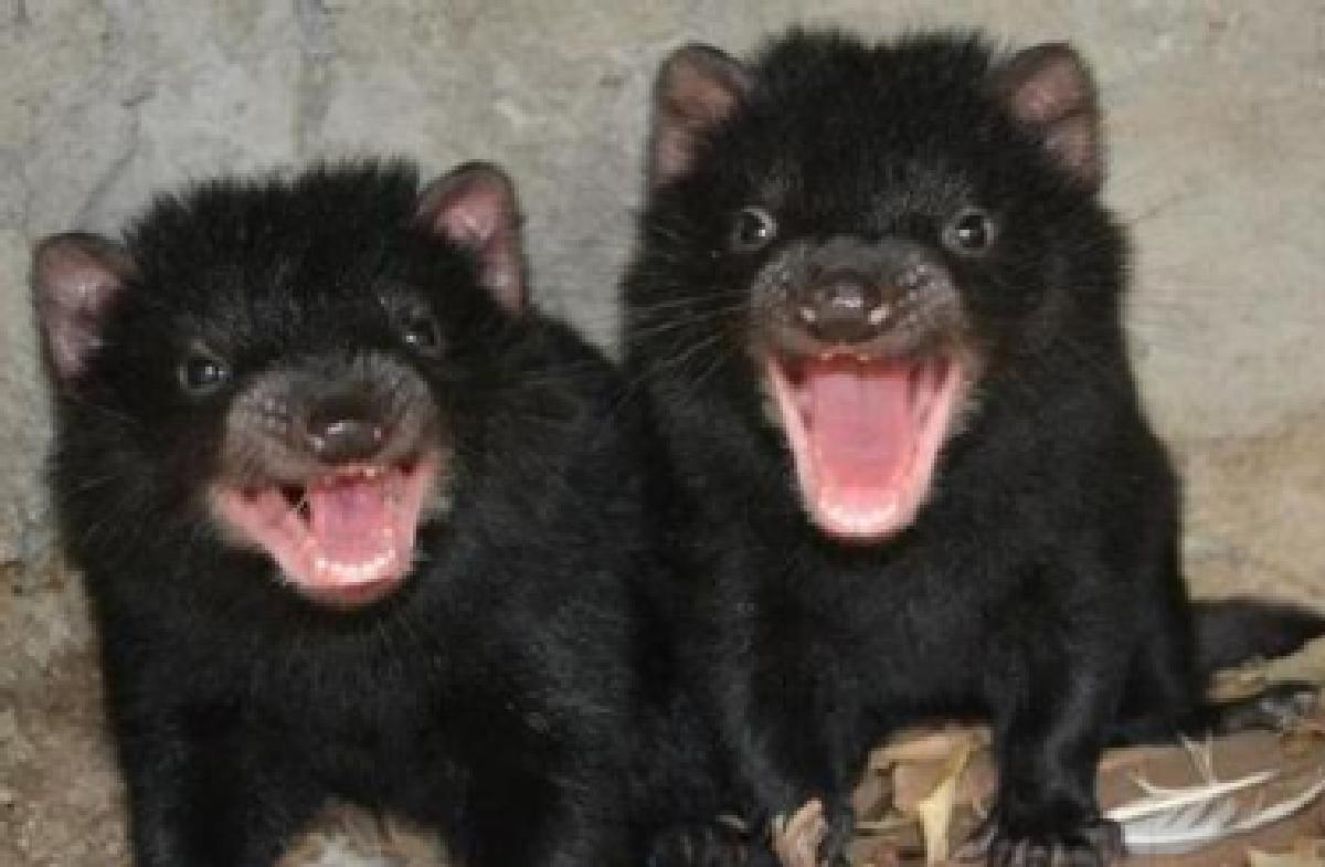 Ecco i baby diavoletti della Tasmania - Tgcom24 - Foto 1