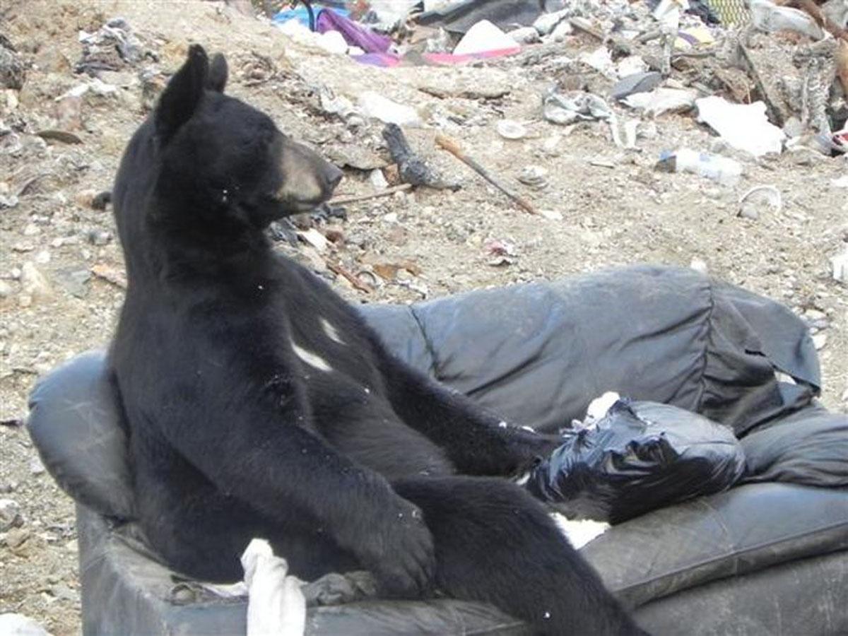 Canada L Orso Pigrone Si Riposa Sul Divano Tgcom24 Foto 1
